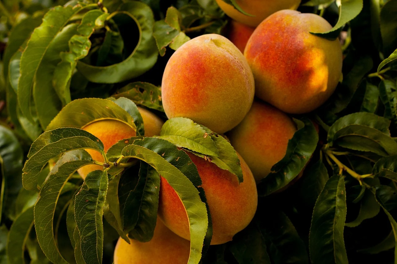 Close-up of several ripe peaches on a branch of a peach tree.
