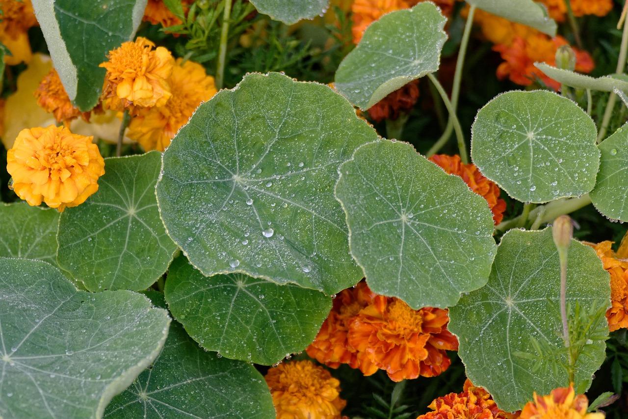 Nasturtium, a great Companion Plant
