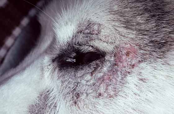 Periocular erythema, alopecia, and crusting in a 4-year-old, female Husky with zinc-responsive dermatosis