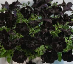 Image result for petunia ray black