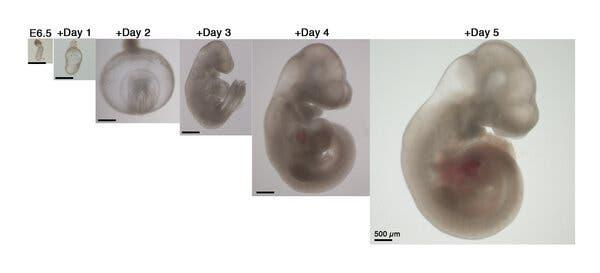 Development of a mouse embryo over a five-day period.