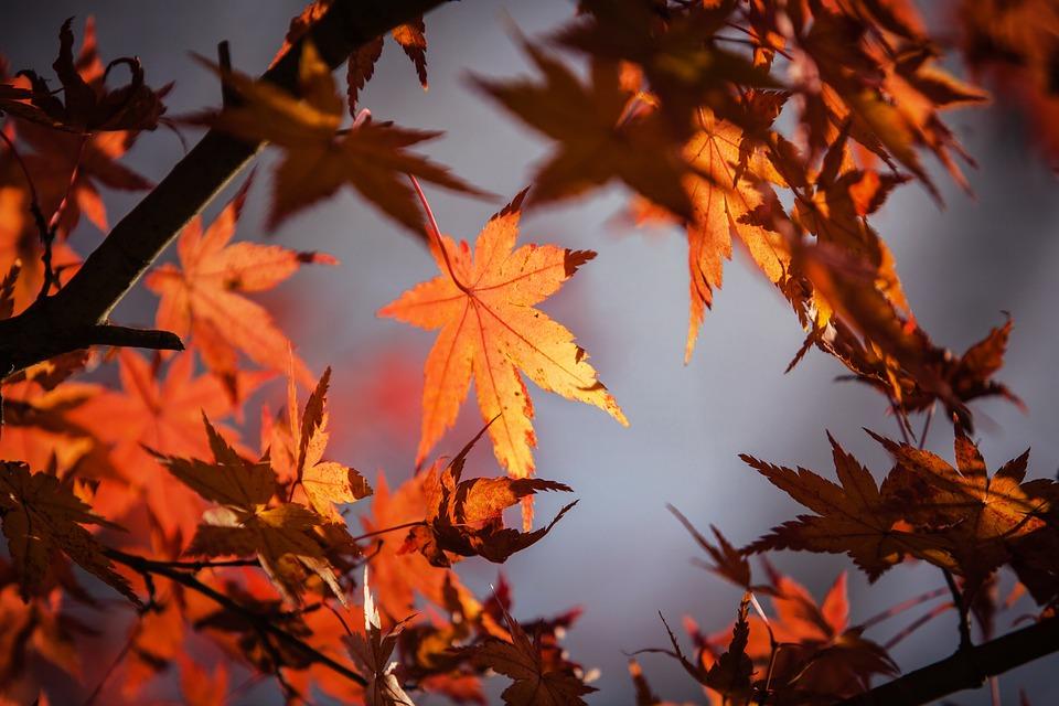 Free photo: Autumn Leave, Japan, Nature, Maple - Free Image on ...
