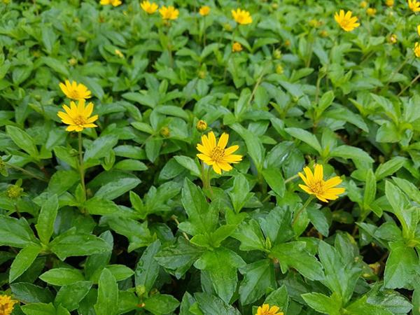 Tham khảo một số loại cỏ được trồng phổ biến hiện nay