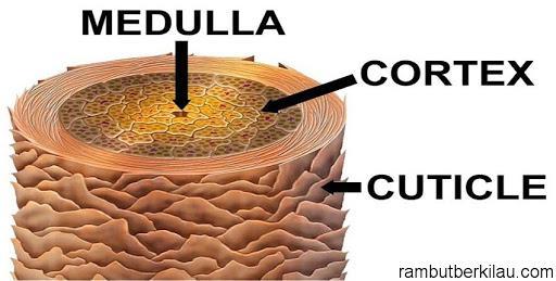 Mengenal Beberapa Struktur Rambut Manusia | Rambut Berkilau