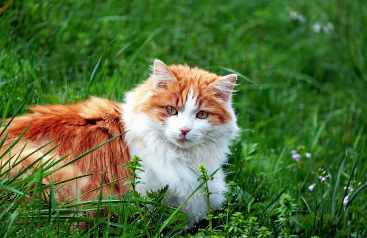 zoology, cute, animal, green grass, nature, cat, kitten, feline, daylight, fur