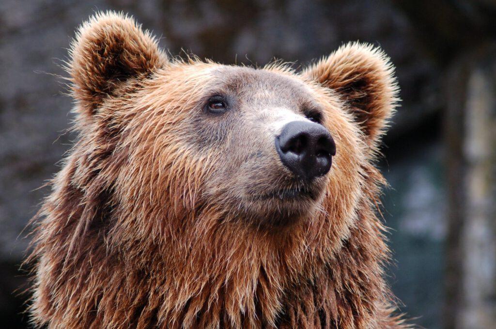 bear, head, brown
