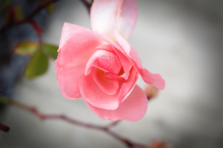 Sidewalk Pink Rose 2.jpg