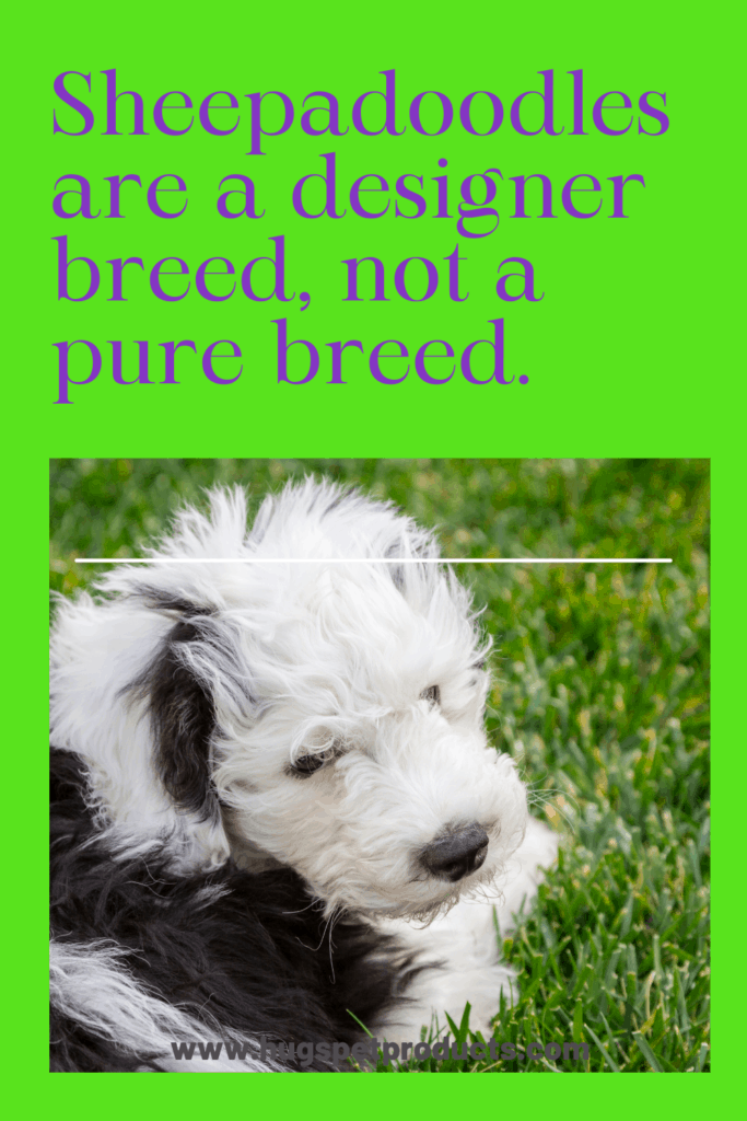 The Sheepadoodle is not a pure breed but is a cross.