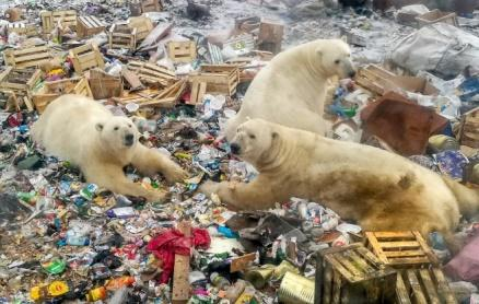Image result for Russia's Arctic footprint may threaten the survival of Polar bears