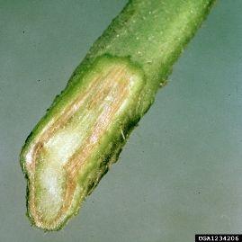 Doença do tomateiro - fungo 1