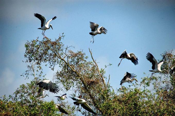 2.Những chú chim cò Ốc là loại động vật quí hiếm được bảo vệ đặc biệt ở Trà Sư