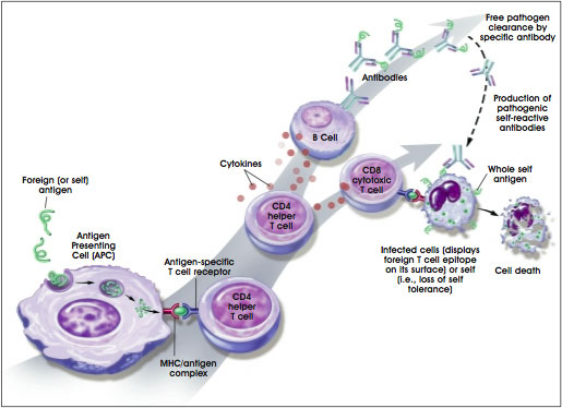 """Image 1: <img scr=""""Image 1.jpg"""" alt=""""How the immune system responds to self or foreign antigens"""">"""
