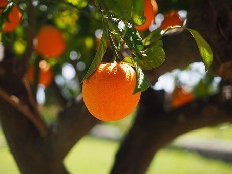 Orange, Log, Tribe, Orange Tree Trunk