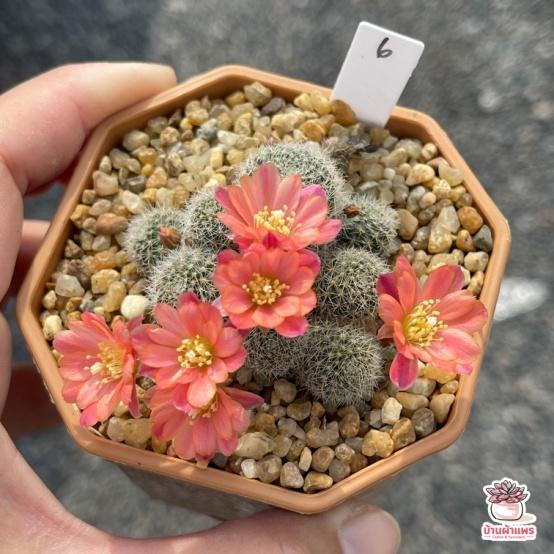 รีบูเทีย Rebutia Hoffmannii แคคตัส กระบองเพชร cactus&succulent