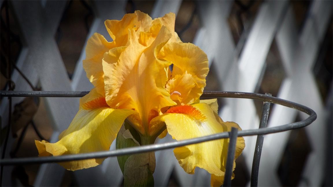 Caged Iris.jpg