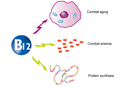 Role of vitamin B12 in the organism