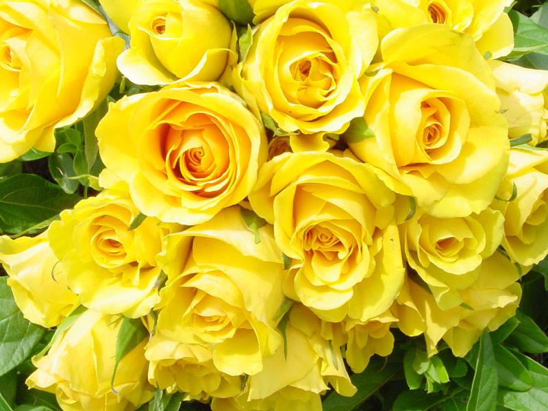 Khi đặt hoa tặng sinh nhật mẹ thì không thể bỏ qua loài hoa hồng đầy ý nghĩa