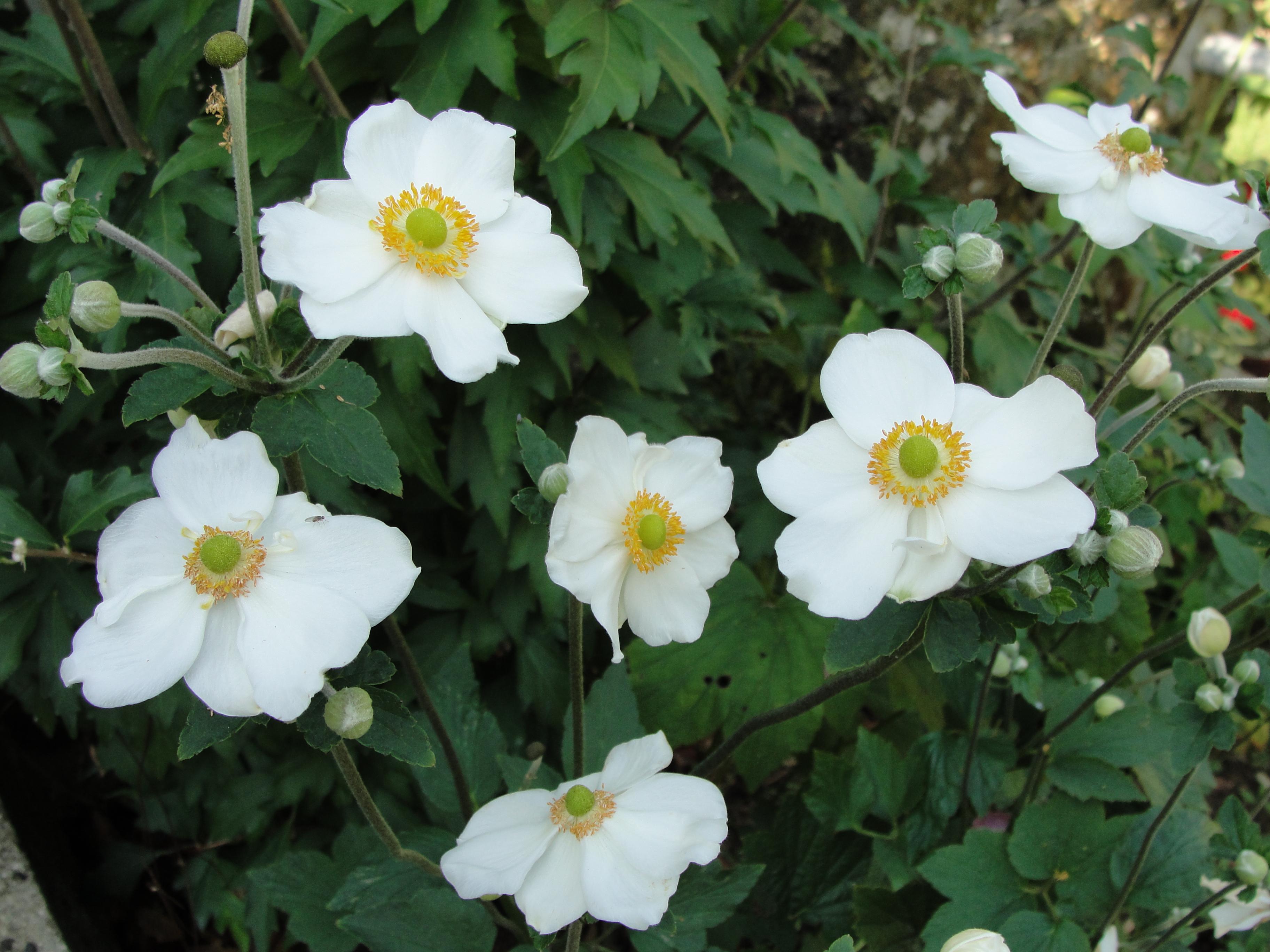 https://get.pxhere.com/photo/flower-plant-rose-family-flowering-plant-rosa-canina-evergreen-rose-rosa-wichuraiana-burnet-rose-annual-plant-shrub-anemone-rosa-rubiginosa-floribunda-carolina-rose-1424363.jpg