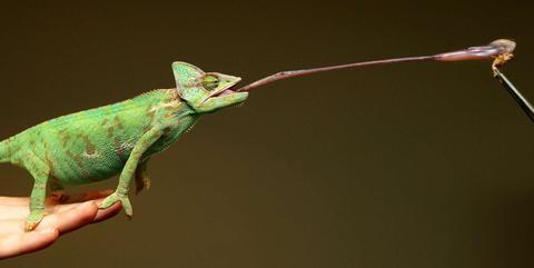 Image result for veiled chameleon eating