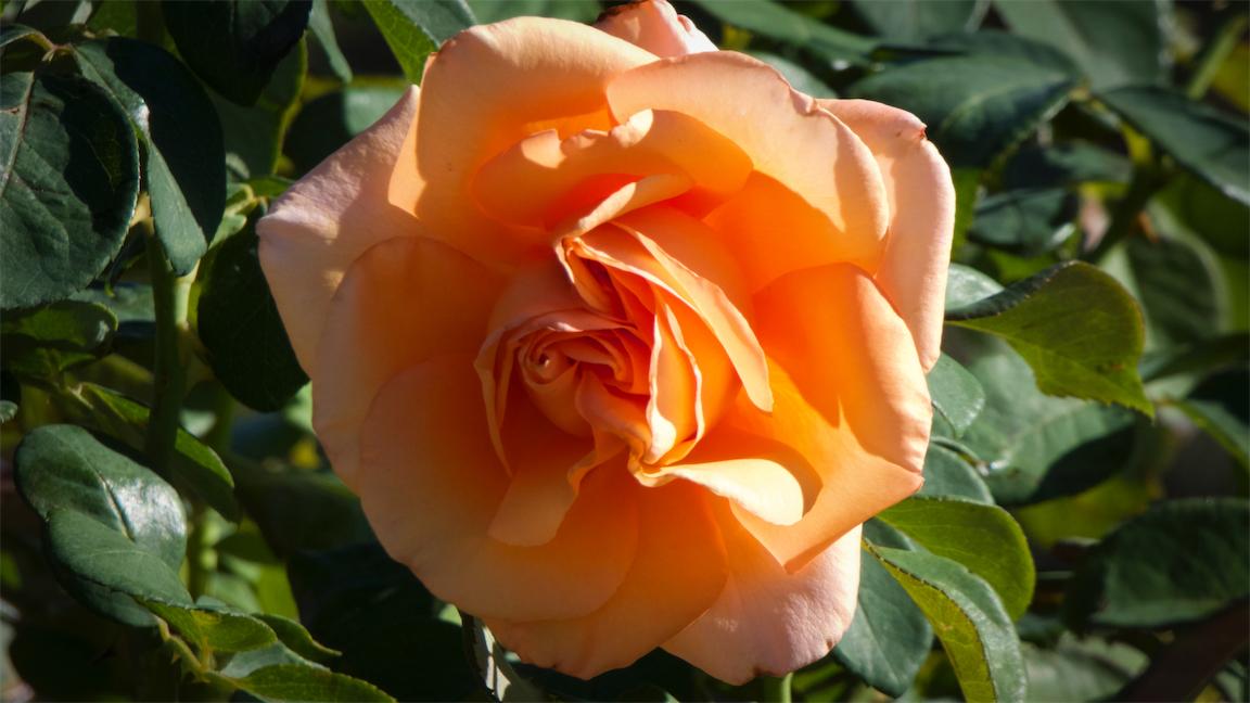 SW Peach Rose.jpg