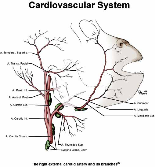External carotid artery and its branches [27].