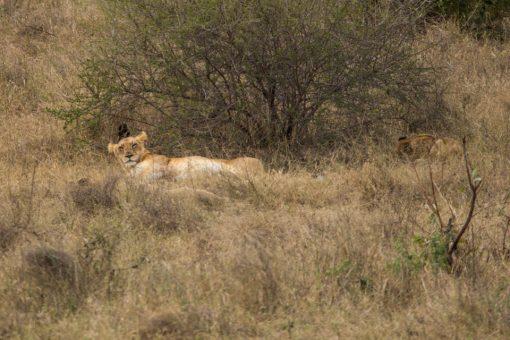 Animais da África do Sul - Leoa de barriga pra cima com cara de quem acabou de acordar..
