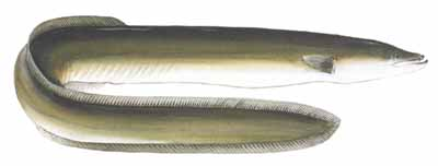 Image result for freshwater eels appearance