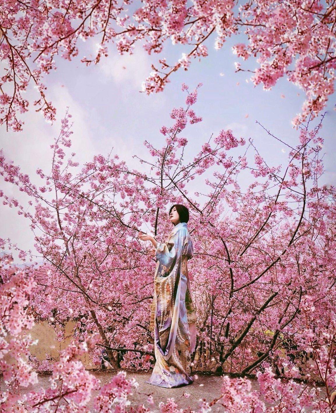 2021櫻花季,到拉拉山恩愛農場賞櫻花