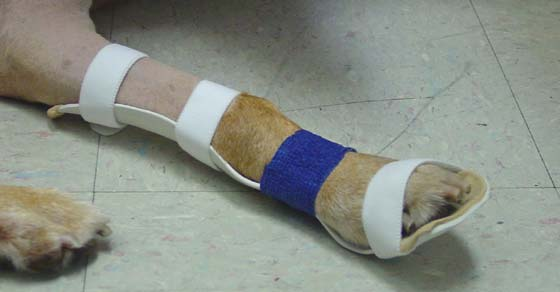 Orthotic for a Labrador Retriever with partial radial nerve damage and subsequent knuckling of the paw