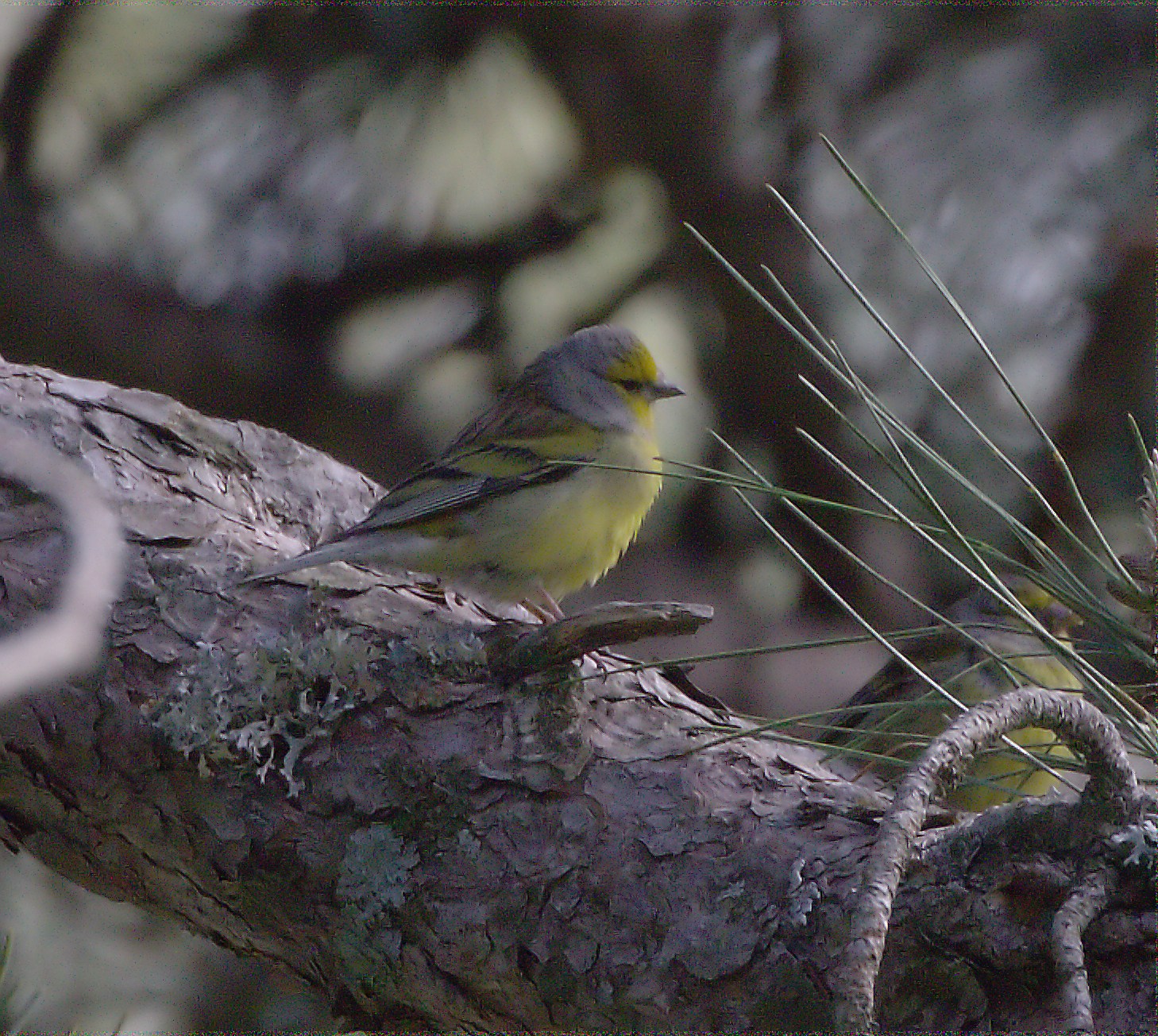 Corsican citril finch.jpg