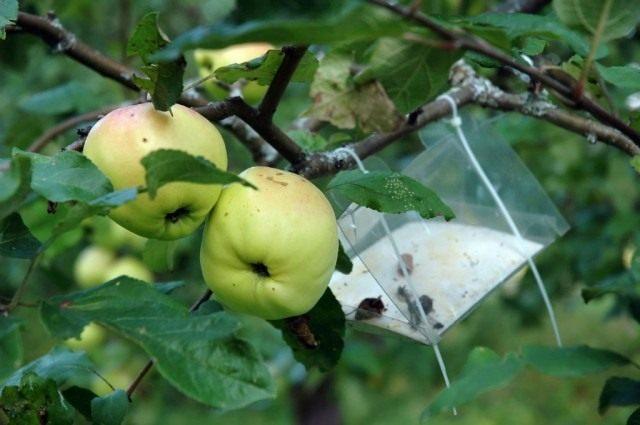 E:\workzilla статьи\сад\вредители яблони\apple_tree_2-640x425.jpg