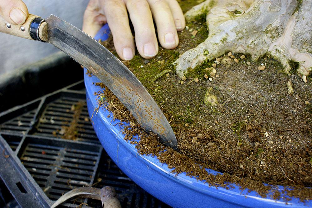 solto no vaso cuidados com bonsai
