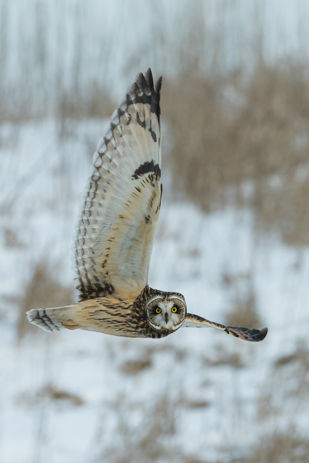 Owl in flight with snowy background