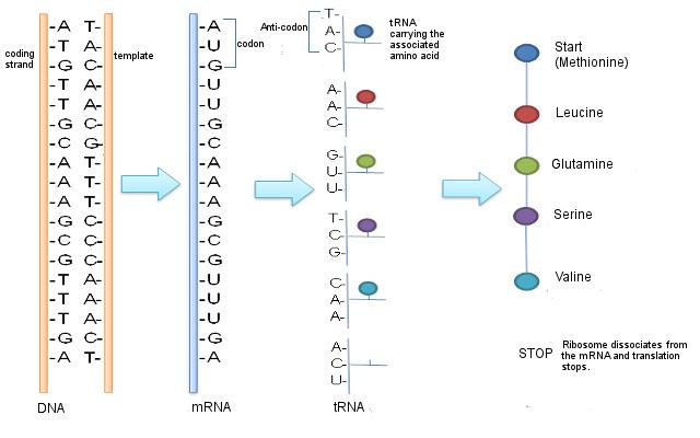 Traduction d'ADN en protéine.