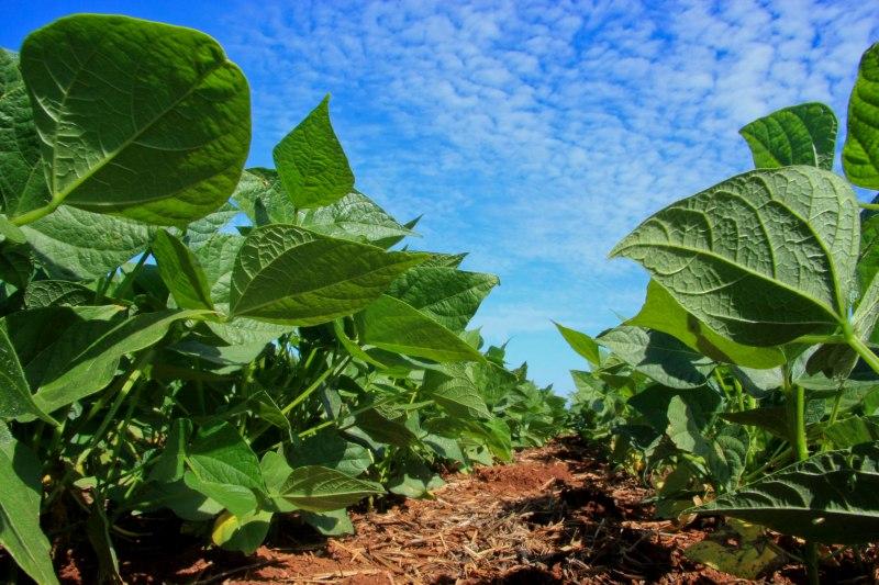 Tecnologias aumentam a produtividade e a qualidade do feijão. (Fonte: Cleverson Beje/FAEP)