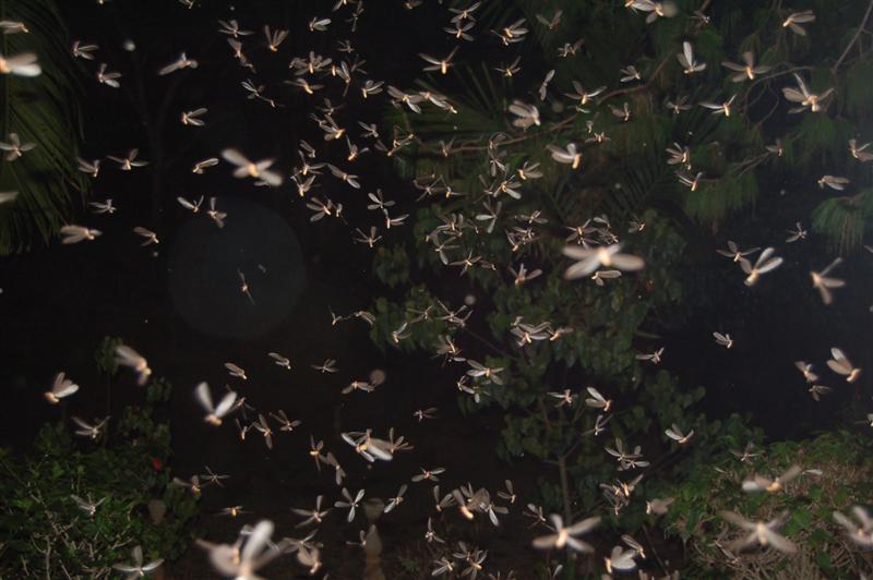 https://upload.wikimedia.org/wikipedia/commons/e/e8/Flying_Termites_after_rain.jpg