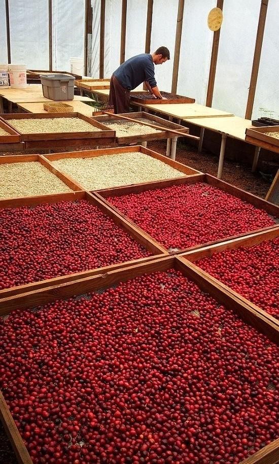 cherry drying.jpg