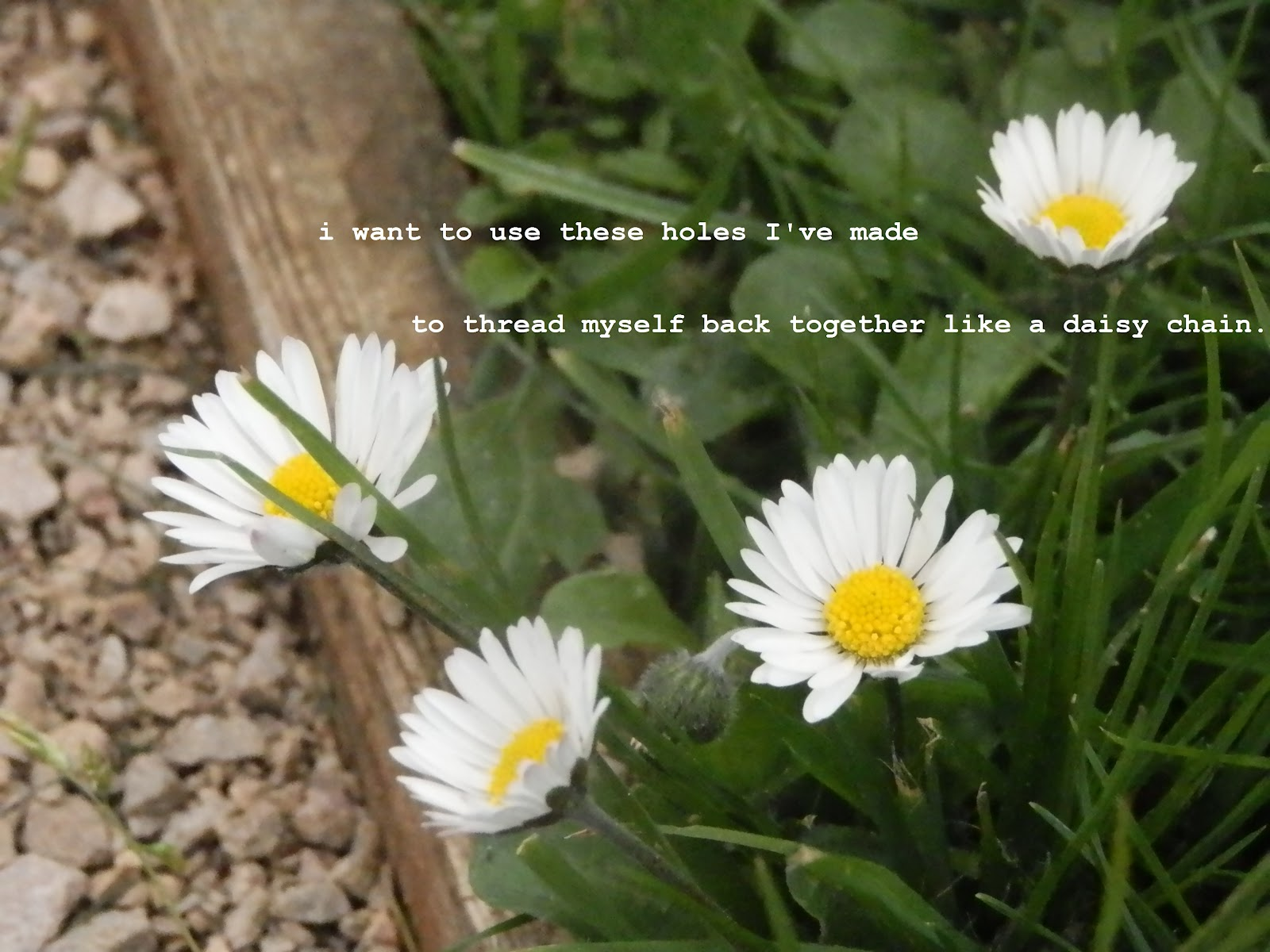 New beginnings image description poem text overlaying four daisies blooming next to a gravel path izmirmasajfo