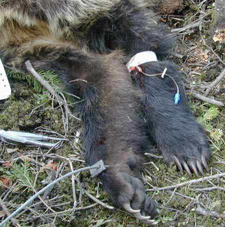 Grizzly bear, with IV catheter placed in the cephalic vein.