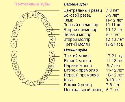Как растут коренные зубы