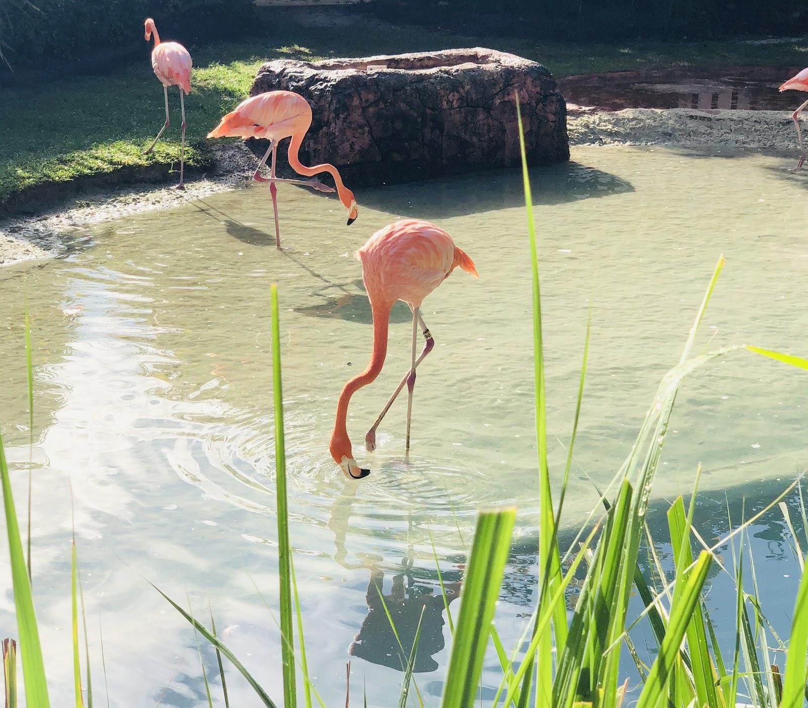 Pink flamingos in Bahamas