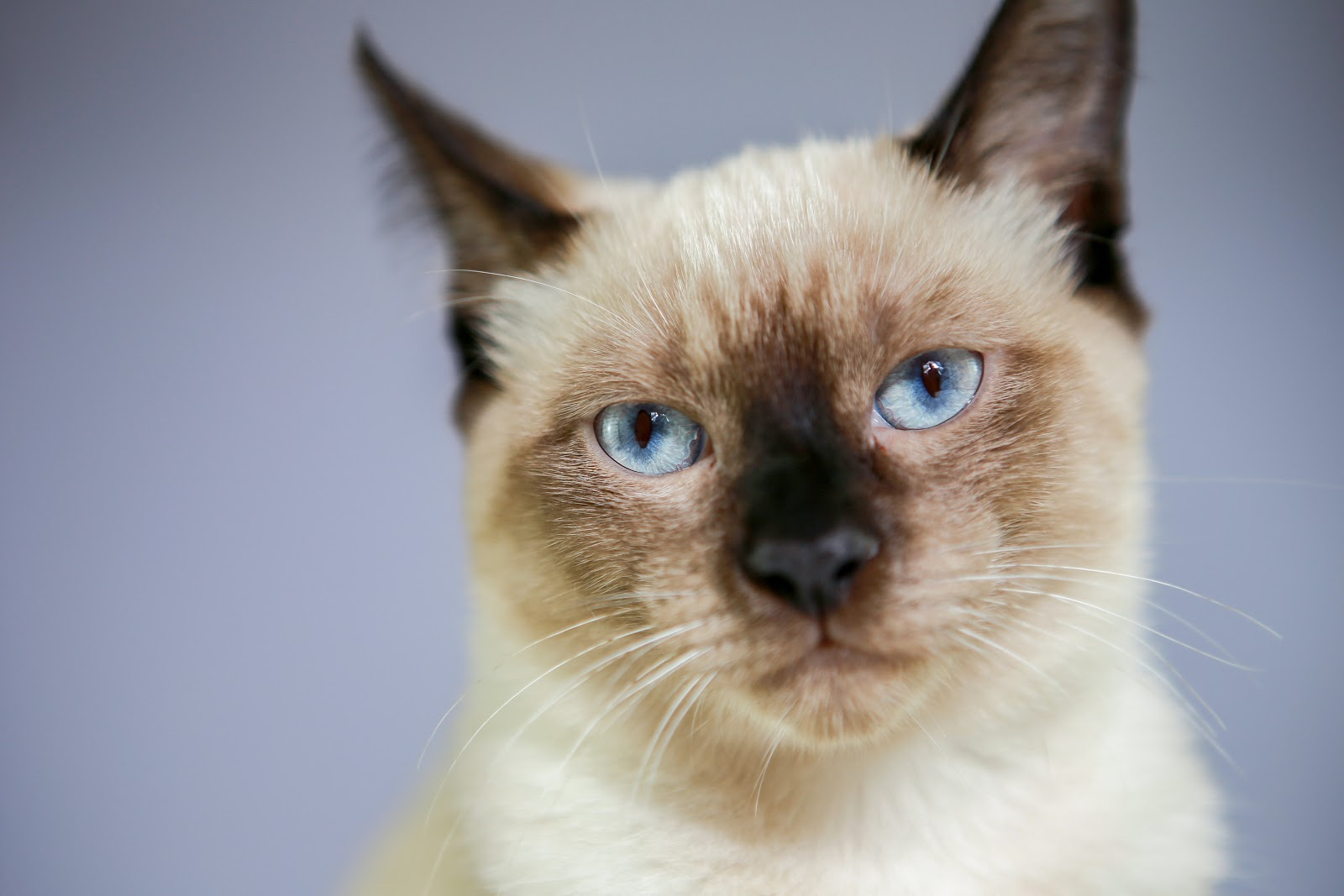 Traditional Siamese Cat looking at the camera