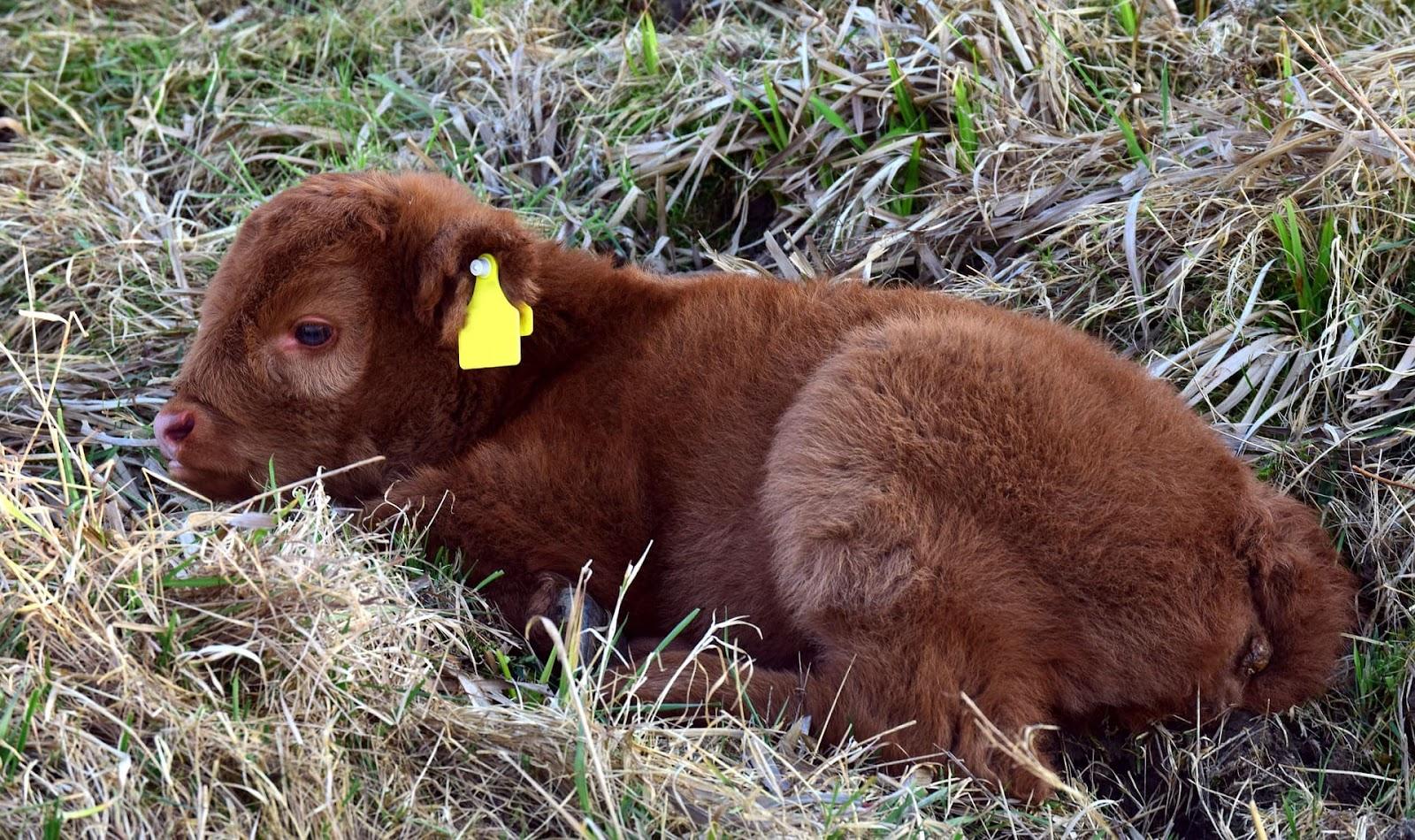 корова плохо встает