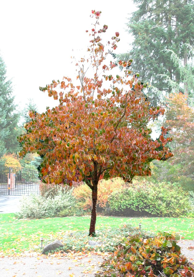 A-Form Dogwood tree after pruning. Note: Limit pruning to 30% of canopy