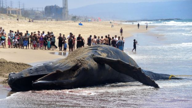 Выбрасываясь на берег, киты вряд ли совершают самоубийство