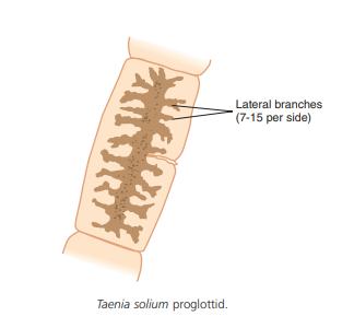 Taenia solium proglottid