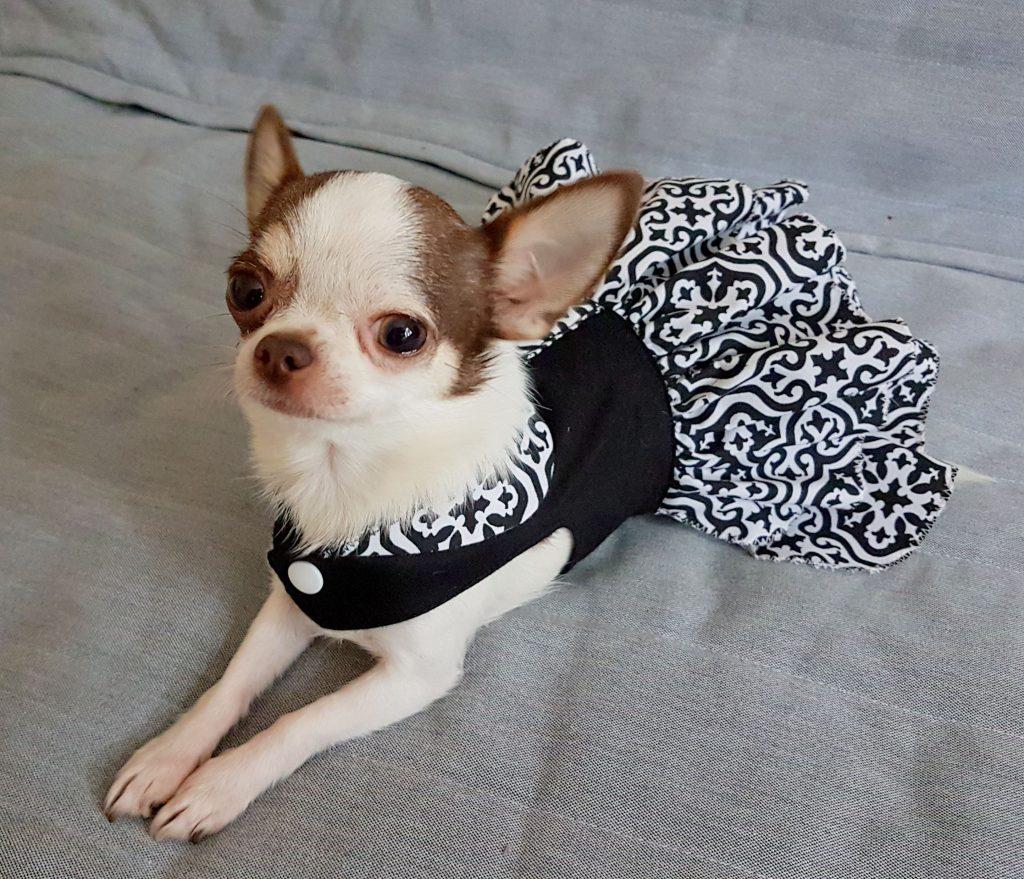 Chihuahua là một trong những giống chó được yêu thích nhất