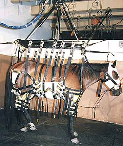 Horse in Anderson Sling (Courtesy of Mr. Charles Anderson).