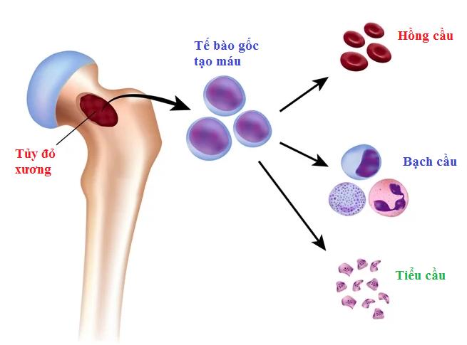 Tìm hiểu về sự sản sinh các tế bào máu trong cơ thể con người