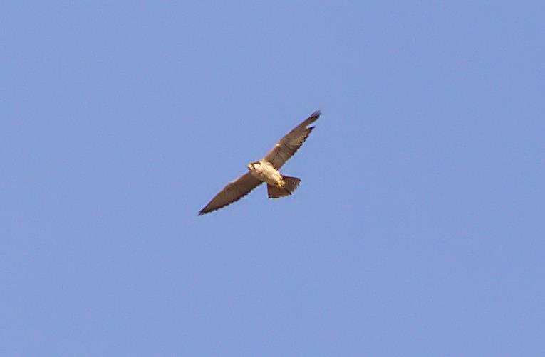 barbary falcon_rsz.jpg